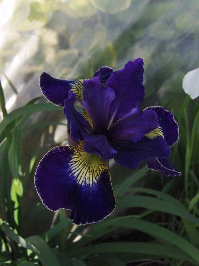 Iris sibirica 'Golden Edge'