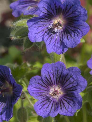 Geranium x 'Blue Blood'