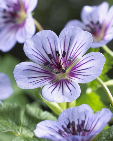 Geranium x 'Crystal Lake'