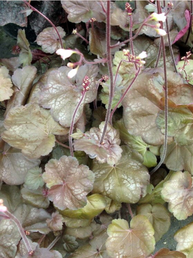 Heuchera 'Brown Sugar'