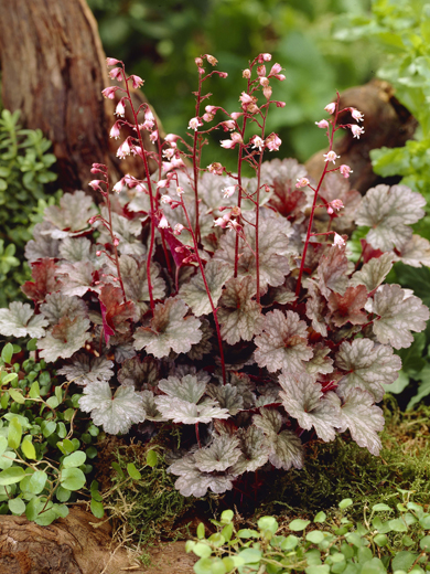 Heuchera 'Petit Marbled Burgundy'