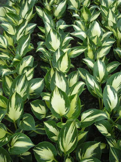 Hosta 'Morning Star'