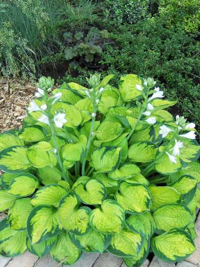 Hosta 'Rainforest Sunrise'