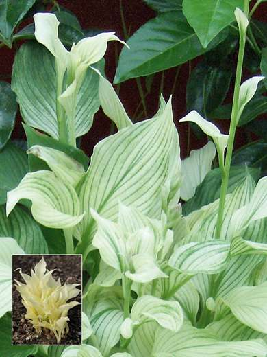 Hosta 'White Feather'