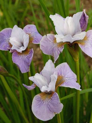 Iris sibirica 'Pleasures of May'