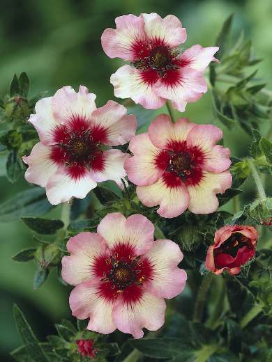 Potentilla 'Light my Fire'