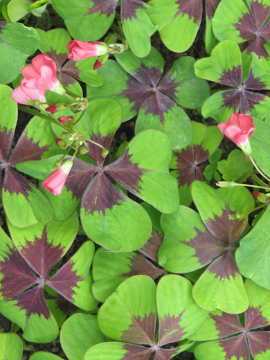 Oxalis deppei 'Iron Cross' 10 stk.