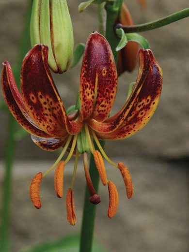 Lilium martagon 'Arabian Night'