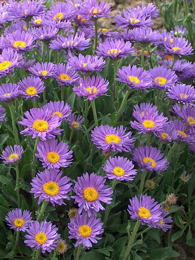 Aster alpinus 'Light Blue'
