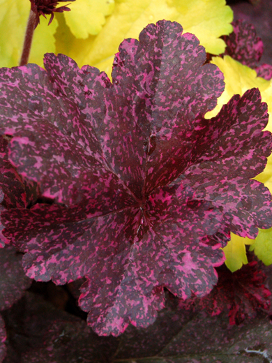 Heuchera 'Midnight Rose Select'