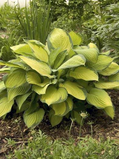 Hosta x fortunei 'Gold Standard'