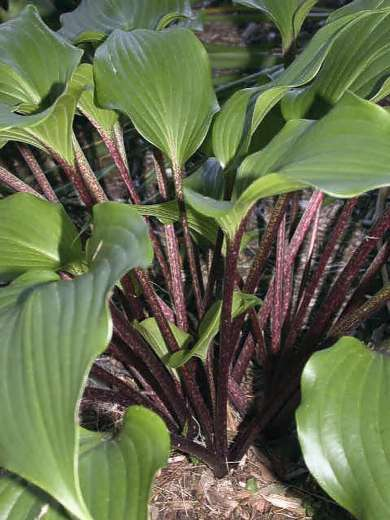 Hosta 'One Man's Treasure'