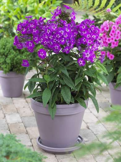 Phlox paniculata 'Purple Kiss'