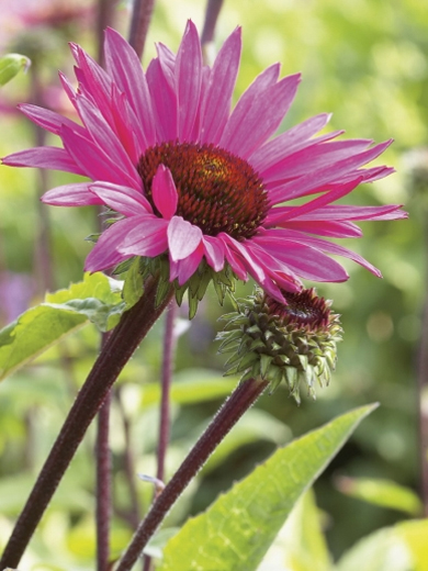 Echinacea purpurea 'Fatal Attraction'