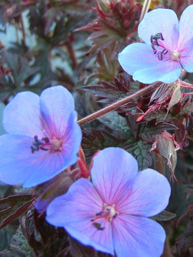 Geranium pratense 'Midnight Blues'