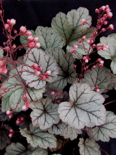 Heuchera 'Silver Blush'