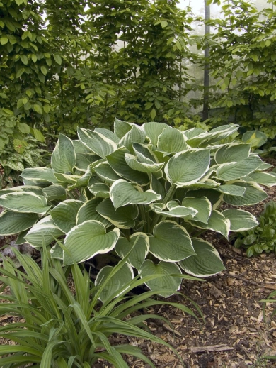 Hosta fortunei 'Francee'