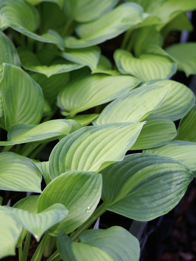 Hosta 'Midwest Magic'