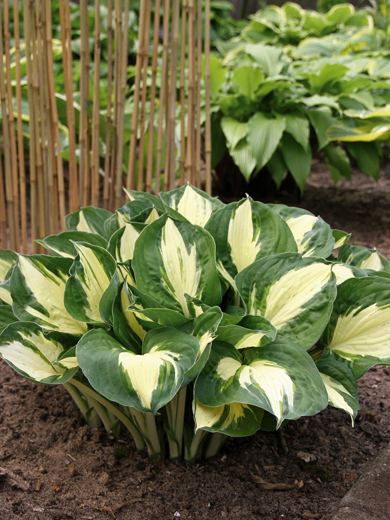 Hosta 'Pathfinder'