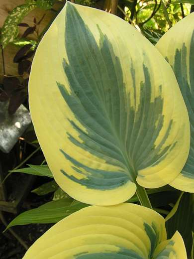Hosta 'Valley's Glacier'