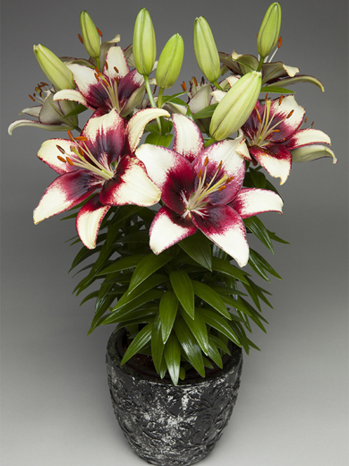 Lilium fantasiatic 'Hot Spot White' 3stk.