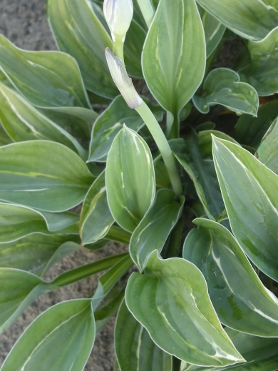 Hosta 'My Lucky Star'