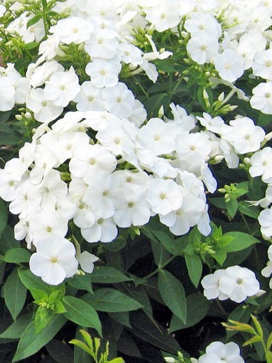 Phlox paniculata 'Junior Fountain'