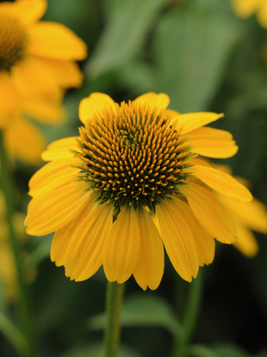 Echinacea 'Lemon Yellow'
