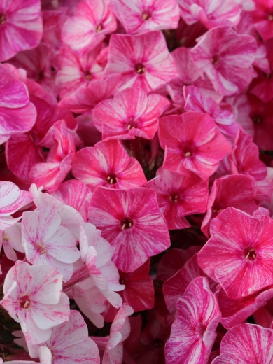 Phlox paniculata 'Freckle Red Shades'