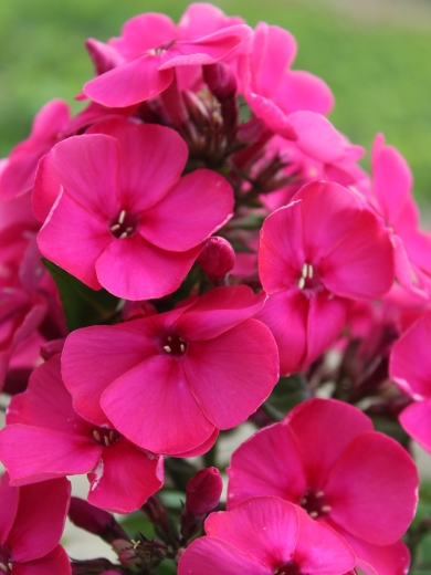 Phlox paniculata 'Younique Old Cerise'