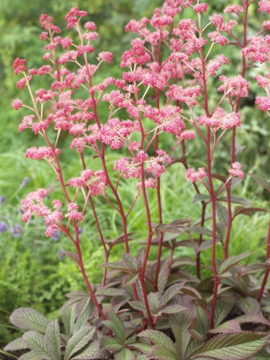 Rodgersia henrici 'Cherry Blush'