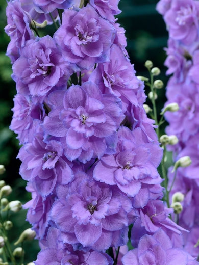 Delphinium elatum 'Wishful Thinking'