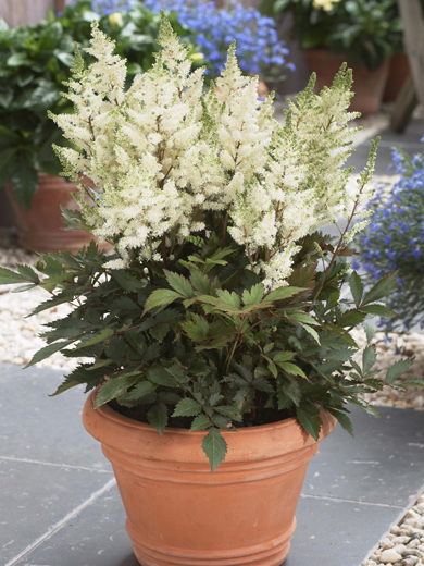 Astilbe 'Younique White'