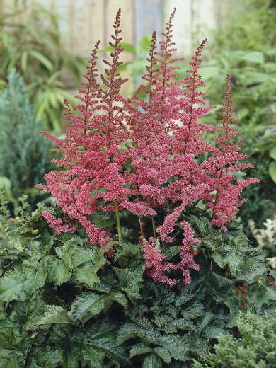 Astilbe 'Alive and Kicking'