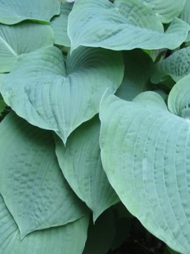 Hosta 'Blue Umbrellas'