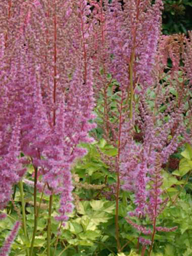 Astilbe arendsii 'Color Flash'