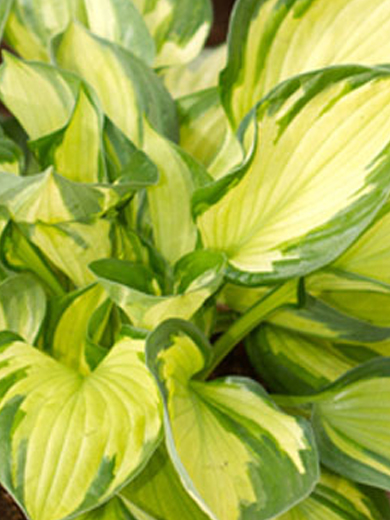 Hosta 'Colored Hulk'