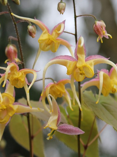 Epimedium 'Fire Dragon'