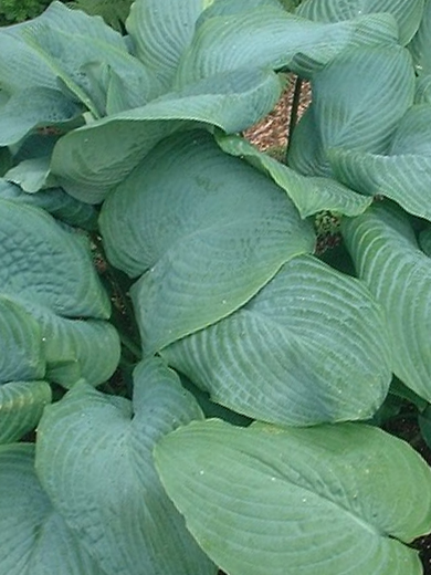 Hosta 'True Blue'