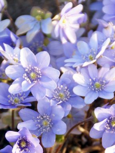 Hepatica transsilvanica 'Blue Eyes'