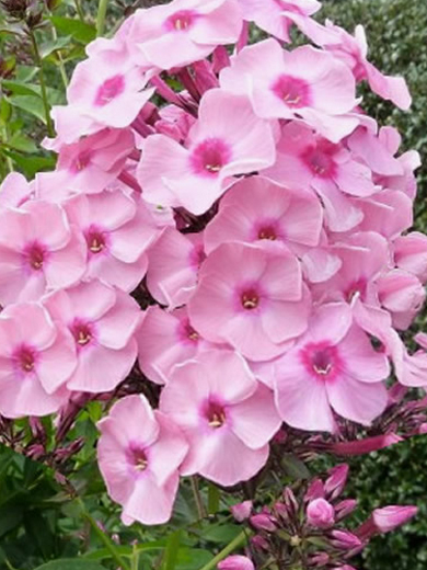 Phlox paniculata 'Junior Bouquet'