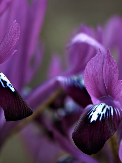 Iris reticulata 'Purple Gem' 10 stk