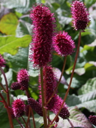 Sanguisorba officinalis var. microcephala 'Little Angel'