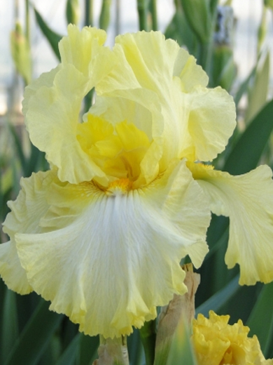 Iris germanica 'Summer Olympics'