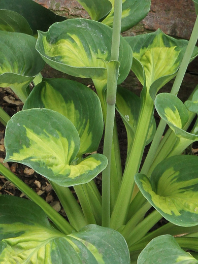Hosta 'Sunset Grooves'