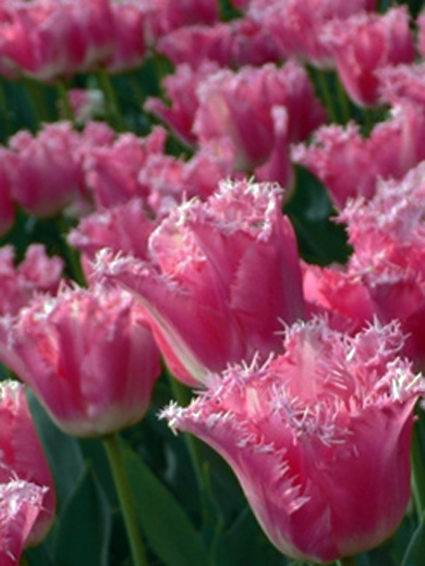 Tulipa 'Fancy Frills' 5 stk
