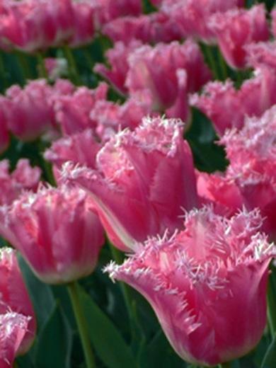 Tulipa 'Fancy Frills' 5 stk