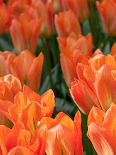 Tulipa 'Orange Emperor' 6 stk