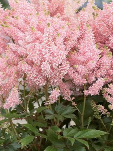 Astilbe 'Younique Salmon'