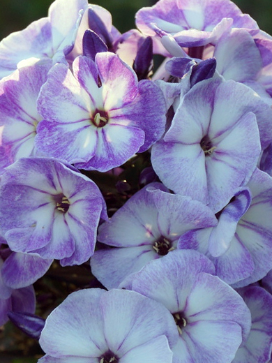 Phlox paniculata 'Younique Old Blue'